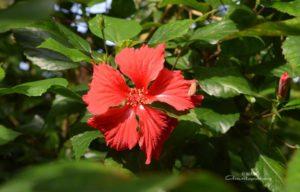amrita yoga, red flower at amritapuri ashram