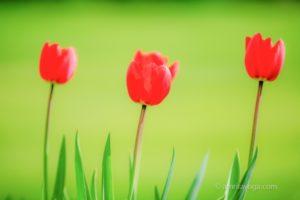 red tulips for amrita yoga