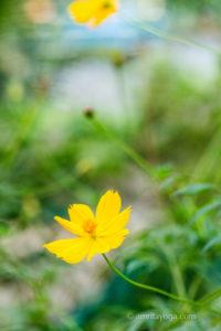 amritayoga yellow flower