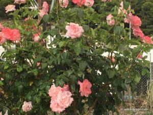 amrita yoga pink roses watermarked