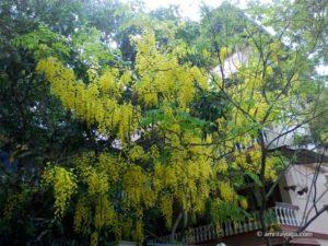 amritapuri ashram tree w yellow flowers