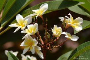 ashram white and yellow flowers