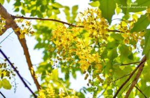 yellow flowers and tree at amritapuri