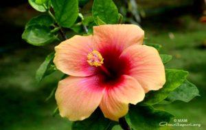 pink flower at amritapuri
