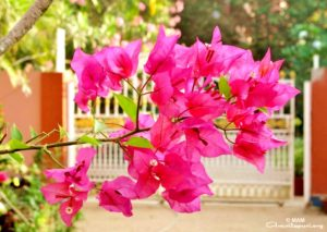 red pink flowers near amma's gate at amritapuri