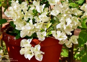 white flowers with green leaves amritapuri ashram