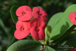 amritapuri red flowers