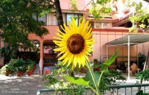 amritapuri ashram sunflower