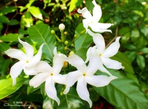 amritapuri white flowers