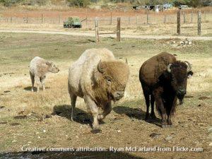 White buffalo, Ryan McFarland creative commons