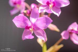 amritapuri purple flower watermarked