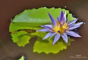 blue pond flower with small fish