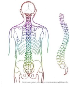 human spine color drawing